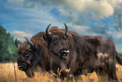 European Bison Wisent