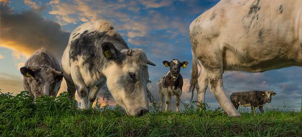 Pastoral Cows