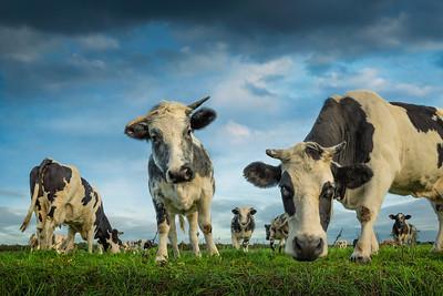 Curious Cows Color