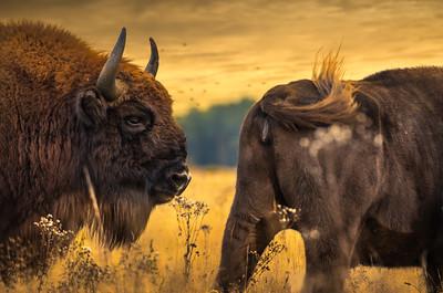 Beauty and the Beast | European Bison Wisent Wilde Koeien Oerrund Wildlife Revival Return Netherlands Europe Maashorst Art FineArt Nature Photography Beautiful Wall Art Prints for Sale