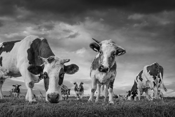 Curious Cows BW