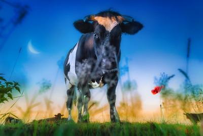 Cow Dreams