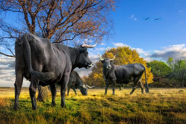 Return of the Aurochs