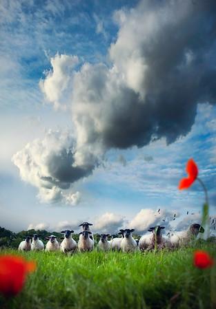 Curious Sheep II