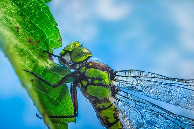 O Dragonfly