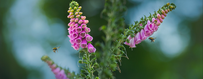 Foxgloves in the Forest