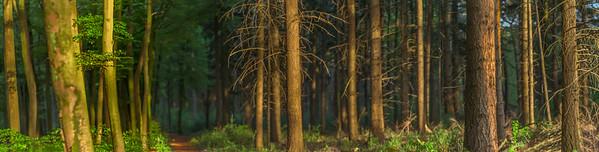 Grote Brede Panorama Foto van een Dicht Begroeid Bos met Dennebomen en Beukebomen Nederlands Landschap Noord Brabant De Maashorst