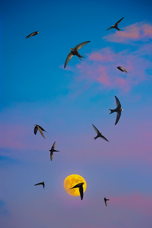 The Swallows