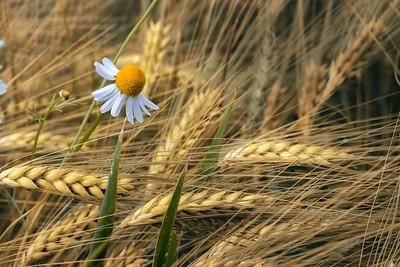 Singing Harvest