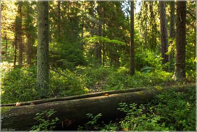 Eestimaa mets