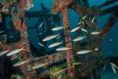 Fish in an Artificial Reef