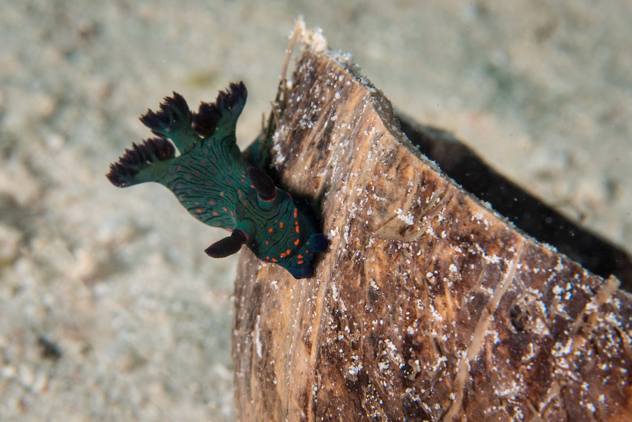 Nembrotha sp. Nudibranch