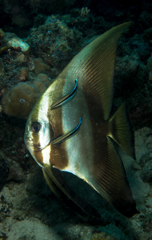 Batfish Being Cleaned