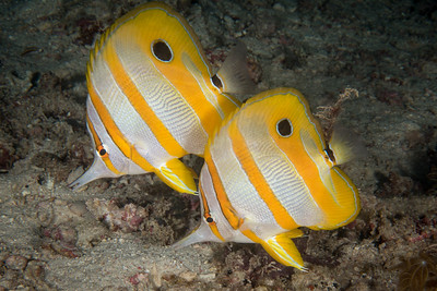 Long-beaked Coralfish