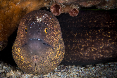 Eel with Cleaner Shrimp