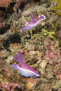 Hyselodoris sp. Nudibranch