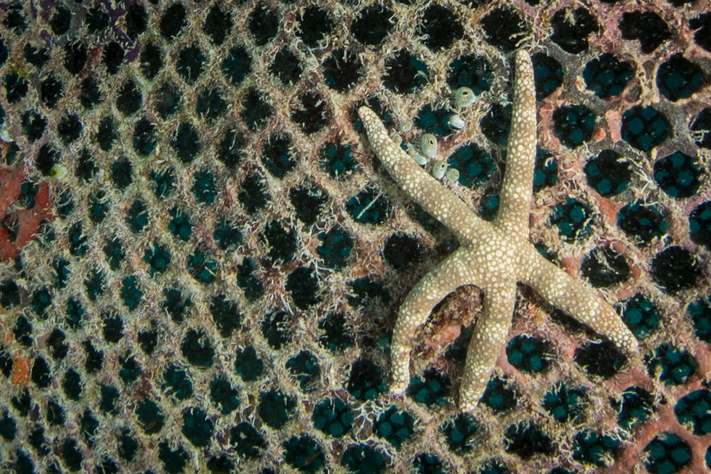 Starfish on an Artificial Reef