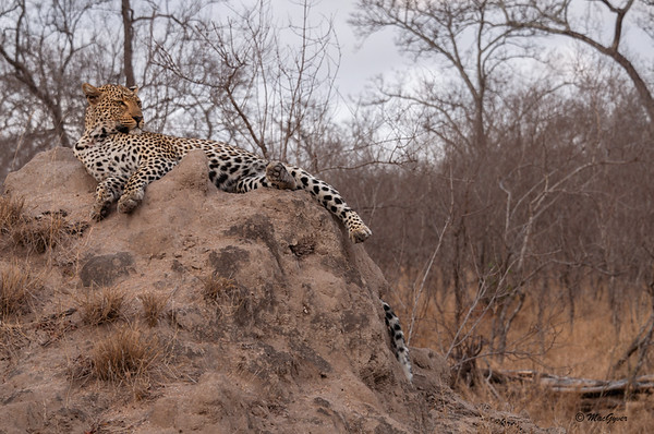 Leopard on a Mound