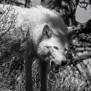 A wolf!