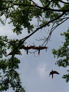 They have a very loud call that draws attention to them in flight or in tall trees. Matapalo, Osa, Costa Rica.