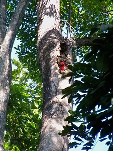 Parent bird in nest hole, about 80 feet above the ground.