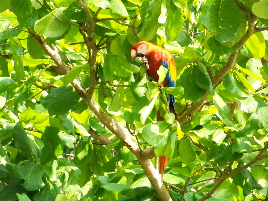 Matapalo, Osa, Costa Rica.