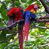 Macaws : Ara macao *  Lapa Roja