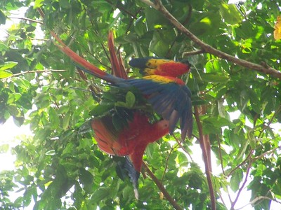 Loud and seemingly playful conflict in the trees, Pavones, Costa Rica.