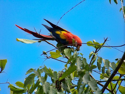 The scarlet macaw population has been decimated for the pet trade. Matapalo, Osa, Costa Rica.