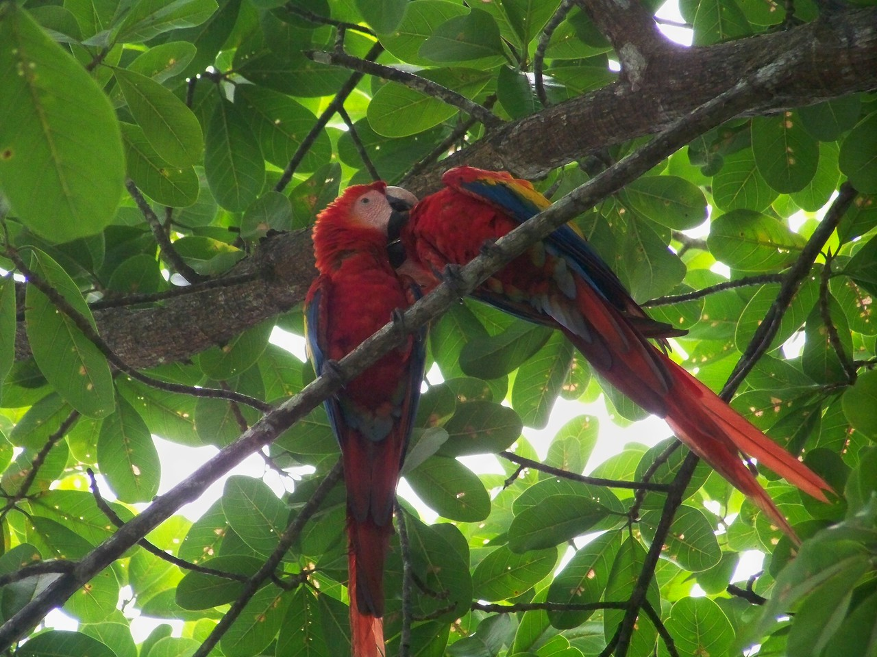 Macaws can be serene and quiet, grooming each other....