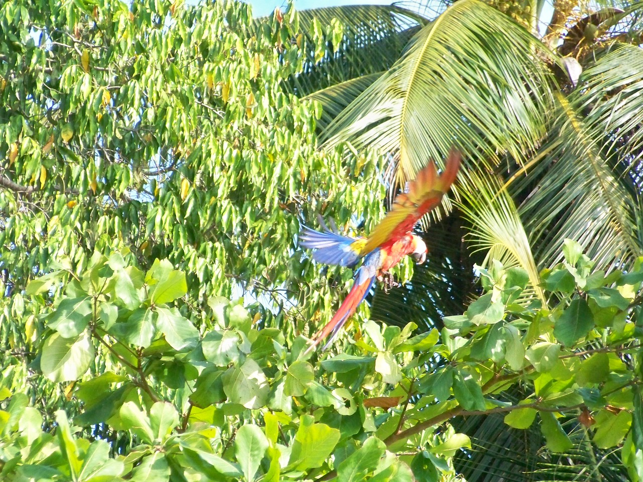 A squawking, flying rainbow.  Matapalo, Osa, Costa Rica.