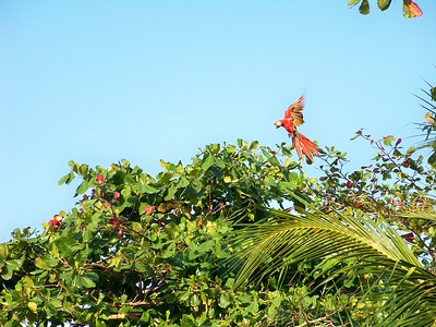 My favorite birds, since my zookeeper days in Fort Wayne. Cabo Matapalo, Osa.