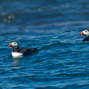 Puffins can be seen once you are within a mile of the Island.