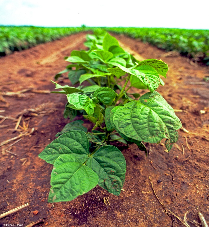 I think these are Soy Bean plants. One of those crops which enrich the soil