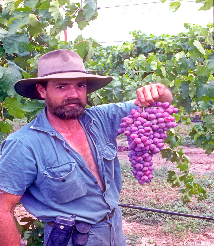 Because of the fact that many grapes grown on the Queensland Central Highlands are of such great quality and  come off the vine at a different time slot to most other producing areas in Australia, there is a high demand for them in domestic and tourism type consumption. As with water melons, most are shipped to the southern areas.
