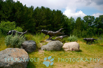 More running wolves, at the International Wolf Center