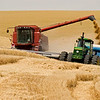 """Unloading wheat """"on the go"""" in steep country."""