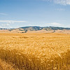 Wheat ready to be harvested
