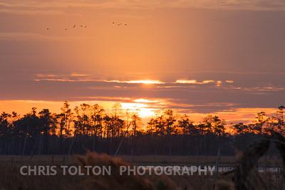 Snow Geese in Morning Sunbeams
