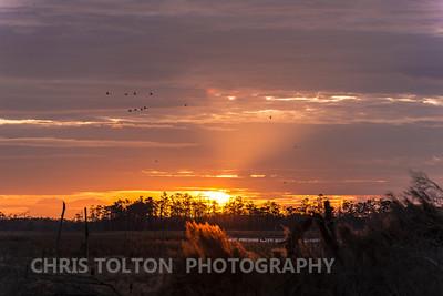 Tundra Swan & Snow Geese Passing Sun's Rays