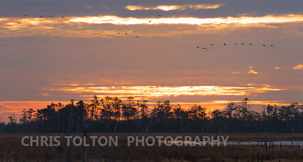 Snow Geese Enroute Open Water