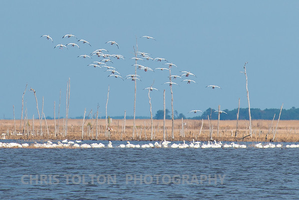 Snow Geese on Final Approach