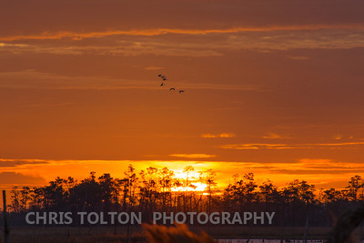 Tundra Swan on an Orange Sunrise