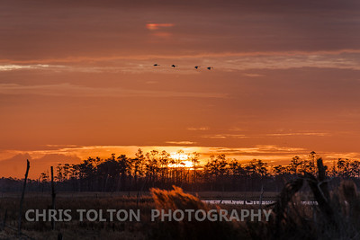 Tundra Swans Passing a Rising Sun