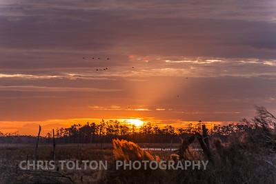 Tundra Swans and Orange Sunrise