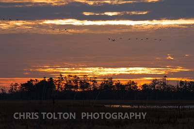 Tundra Swans Morning Move