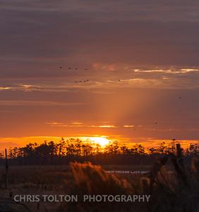 Tundra Swans at Morning Light
