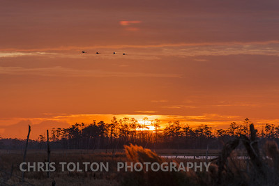 Tundra Swan in Morning Formation