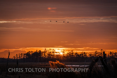 Tundra Swans Flying Past the Sunrise