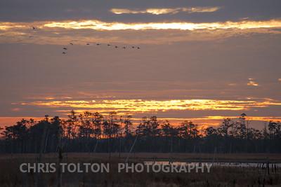 Tundra Swans Crossing the Morning Sky